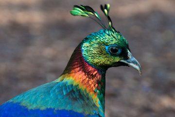 Nepal birding tour
